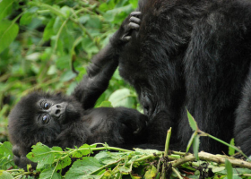Thumbnail image for WWF campaign to protect mountain gorillas