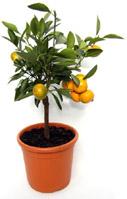 orange_tree_main-pr